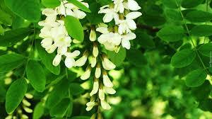 Znalezione obrazy dla zapytania akacje kwiaty