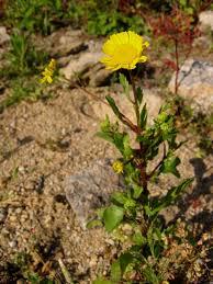 Coleostephus myconis - Wikipedia, la enciclopedia libre