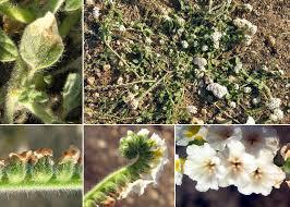 Heliotropium supinum L. - Guida alla flora degli stagni temporanei ...