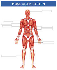 (these images are in the becker muscular dystrophy. 6 Best Printable Worksheets Muscle Anatomy Printablee Com