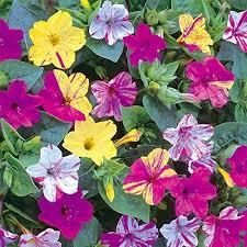 garden flowers. 1 Pack 20 Seeds Fragrant Mix Color Arabian Jasmine Garden Flower Seed Flowers