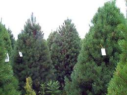 Type Of Christmas Tree  Christmas Tree Firs And Tinsel TreeTypes Of Fir Christmas Trees