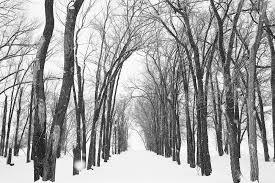 black and white snow photography. Delighful Snow Row Of Trees With Black And White Snow Photography I