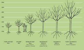 Tree Root Size Chart Rootstocks Fruit Trees Sizes And Rootstocks Apple