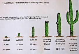 Saguaro Age Chart Cactus Cactus Plants Cactus Flower