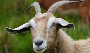 Image result for confused goat