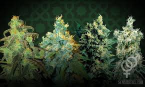 top four regular cans strains for growing cans indoors