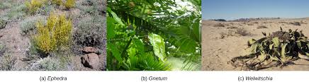 photo a shows mormon tea a short scrubby plant with yellow branches radiating out