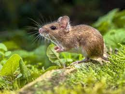 tips on tackling mice in your garden