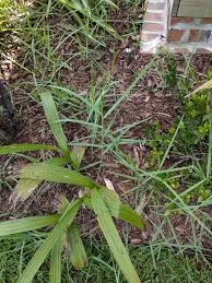 Need Help Identifying Invasive Grass Weed In My Landscaping St