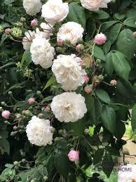 roses rose garden landscape