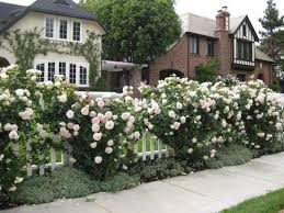 Small Picture train climbing roses this is Eden Garden ROSES Pinterest