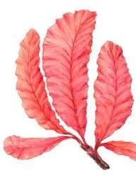 Характеристика красных водорослей багрянок Ботаника Реферат  Хроматофоры чаще всего в форме пластинок без пиреноидов Пектиново целлюлозные клеточные оболочки у многих видов сильно ослизняются а у некоторых пропитаны