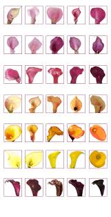 Calla Lily Color Chart Download Solidaria Garden