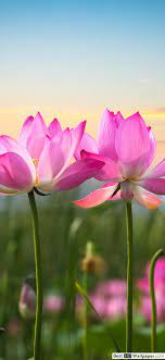 Pink lotus flowers HD wallpaper download