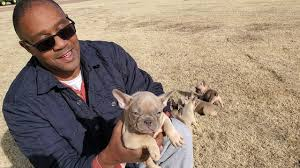 Quad carrier French bulldog puppies ...