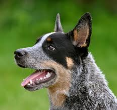 Cattle Dog Weight Chart The Ultimate Australian Cattle Dog Food Buyers Guide Dog