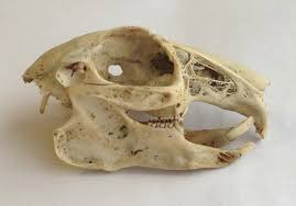 Small Animal Skull Identification Chart How To Id Small Mammal Skulls Discover Wildlife