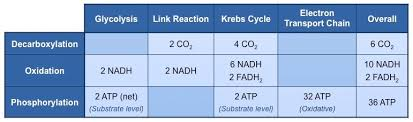 Complete The Chart For The Stages Of Cellular Respiration Aerobic Overview Bioninja