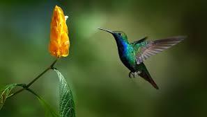 Bildresultat för kolibri