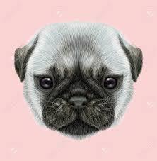 Geïllustreerd Portret Van Pug Puppy Leuk Pluizig Zilveren Gezicht Van Binnenlandse Hond Op Roze Achtergrond