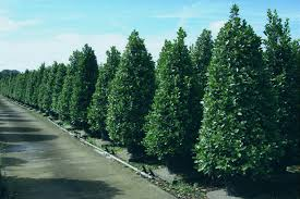 we are one of the largest artificial plants trees manufacturers supplier professional in making artificial trees plants flowers hedges and pots