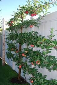 Tree Training  Suffolk Fruit And Trees  The Fruit Tree SpecialistsGrowing Cordon Fruit Trees