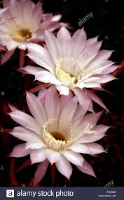 Image result for cactus blooms