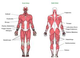 The primary job of muscle is to move the bones of the skeleton but muscles also enable the heart to beat and constitute the walls of other. Image Result For Major Muscles Of The Body Worksheet Muscle Body Muscle Diagram Human Body Muscles