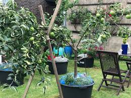 dwarf apple how to grow apple tree in