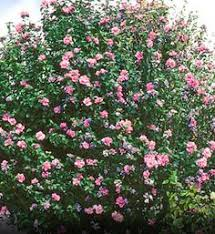 SummerFlowering Shrubs  HGTVShrub With Pink Flowers