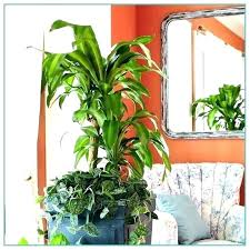 cat safe indoor plants for cats large house low light tall houseplants pet air purifying cat safe indoor plants