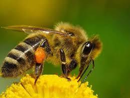Пчела медоносная реферат фото пчелиный рой Животный мир Тело пчелы покрыто ворсинками от того она и кажется лохматой У их отлично развито чутье запах подходящего цветка она может учуять на расстоянии 1 го