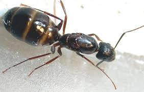 Résultats de recherche d'images pour «photo de fourmis charpentiere»