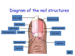 Diagram Of The Nail Structures