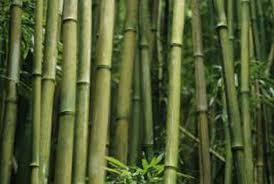 bamboo garden stakes. Bamboo Garden Stakes Make Inexpensive Curtain Rods.