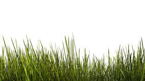 tall grass texture. Tall Grass Close Up. On White Background. Clipping Path Included Royalty Free Stock Photo Texture