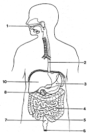 Draw and label the digestive system of a bird archives diagram draw and label the digestive
