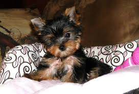 cute yorkie puppies for sale.  For Tiny Angels  Puppies For Sale Pink Bella Beautiful For Cute Yorkie Puppies Sale E