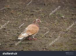 Light Brown And White Pigeon Beautiful Pigeon Walks Earth During Day Stock Photo Edit