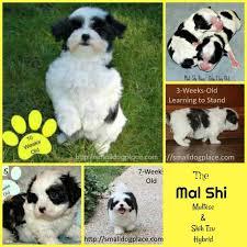 Shih Tzu And Maltese Designer Dog