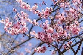 Bunga Sakura Selain Sakura Ini Bunga Cantik Lainnya Pada Setiap Musim Di
