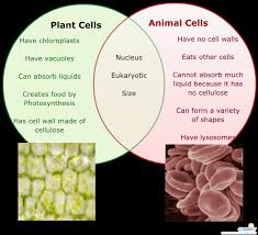 Venn Diagram Plant Cell And Animal Cell Plant Cell Vs Animal Cell Venn Diagram Thinker Life