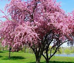 Bunga Sakura Sulsel Jepang Kerjasama Hadirkan Bunga Sakura Di Sulsel