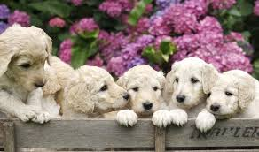 Labradoodle Color Chart 11 Facts Which Will Make You Want To Own A Mini Labradoodle