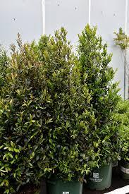 Bright 'N Tight Carolina Laurel (Prunus caroliniana 'Monus') in ...
