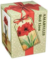 amaryllis holiday gift growing kit includes big red lion bulb plastic pot and