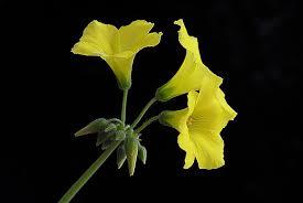 three yellow flowers flower yellow