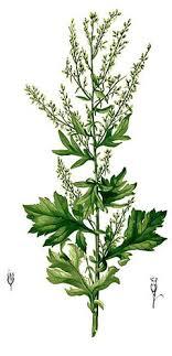 artemisia. artemisia vulgaris mugwort, common wormwood, felon herb, chrysanthemum weed, wild wormwood