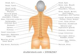Spinal Nerves Images Stock Photos Vectors Shutterstock